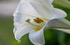 lily white (Pejasar) Tags: white lily flower bloom blossom garden tulsa oklahoma
