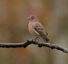 Autumn Composition (Slow Turning) Tags: haemorhousmexicanus housefinch male bird perched tree branch twig stick autumn southernontario