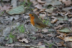 DSC00245 (simonbalk523) Tags: nymans national trust nature wildlife robin photography sony