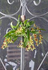 Gomesa (Oncidium) colorata species orchid (nolehace) Tags: oncidium coloratum species orchid 1017 fall nolehace fz1000 flower bloom plant gomesa colorata sanfrancisco