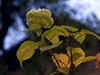 autumn hydrangea's last days (Ola 竜) Tags: hydrangea autumn bokeh dof lowpov plant twig lightgreen backlight leaves bush fortensia ajisai focus macro spider web floral composition nature flower flowers blue
