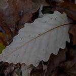 Chestnut Oak thumbnail