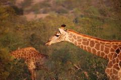 Timbavati Private Nature Reserve - Giraffe