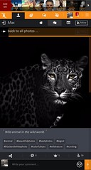 Wild animal in the wild world. :: #blackandwhitephoto #colorfuleyes #bigcat #animal #wildnature #bestphotos #beautifulphotos #xuniting (xuniting1) Tags: animal colorfuleyes xuniting bestphotos blackandwhitephoto bigcat wildnature beautifulphotos