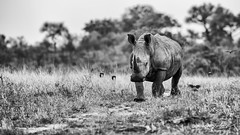 White Rhino - Kruger National Park (BenSMontgomery) Tags: white rhino kruger national park rhinoceros southern south africa wildlife