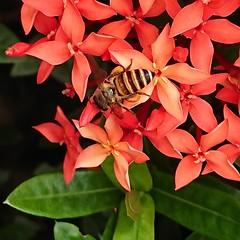 Ixora honey bee (aaronKoo) Tags: sonyxperia xperia ixora flowers xz1compact bee honey macro