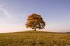Votický javor (Rianetna) Tags: votickýjavor javor acero acer acerpseudoplatanus solitarytree lonelytree lonesometree osamělýstrom alberosolitario soliter votice strom