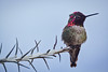 Hummingbird and Ocotillo branch (Anne McKinnell) Tags: bird california hummingbird luminar ogilby wildlife photography software review tutorial