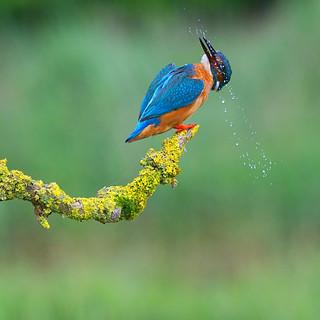Kingfisher ~ Explored
