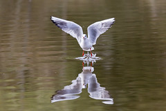 Reflet d'ailes - Wings reflection (bboozoo) Tags: nature animal bird oiseau wildlife mouette seagull eau water reflet reflection lac lake canon6d tamron150600