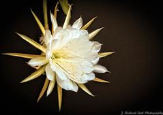 White and Gold Delight (J_Richard_Link) Tags: plant epiphyllum flower macro blossom flora epiphyte cactus closeup white gold nature naturephotograph