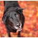 11/12 Carmen | fall carpet (Bordadorhund) Tags: 12monthsfordogs2017