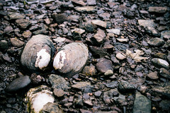 Clamshell, freshwater (DonJesseTaylor) Tags: stones rocks riverbed clam clamshell shell leaf