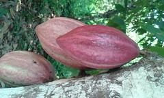 El Gran Cacao (Carmen Paez) Tags: cacao chocolate elmejorcacaodelmundo