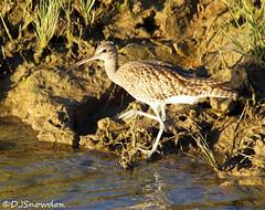 Wandering Whimbrel (Wipeout Dave) Tags: davidsnowdonphotography bird birds wildlife portugal riaformosanaturalpark algarve canoneos80d whimbrel numeniusphaeopus wader scolopacidae