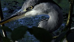 """ Who Knows Were The Time Goes "" (hope2029) Tags: grey heron closeup leaves hidden meanwood trail footpath leeds west yorkshire"