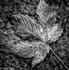 "Fallen Leaf (judy dean) Tags: judydean 2017 macromonday ""stonerhymingzone leaf road tarmac mono blown flown prone stone thrown alone"