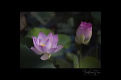 Lotus flower and bud (Camerai) Tags: lotusflower flower pink green topasimpression cambodia banambang southeastasia