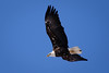Bald Eagle On The Hunt (Wes Gibson) Tags: americanbaldeagle leclaire mississippiriver iowa lockanddam14 bird river geographicfeatures