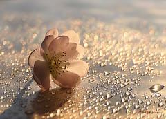 November Cherry Blossom ... (MargoLuc) Tags: blossom cherry pink flower sunlight bokeh backlight shadows macro droplets