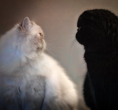 opposites (Uniquva) Tags: flickrfriday opposites cats exotic persian blackandwhite