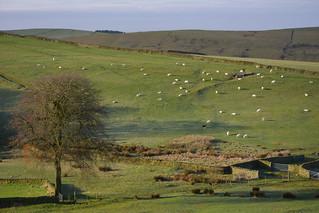 Farm Life, Taxal Edge, Peak District National Park, Derbyshire, England.