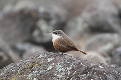 Canyon Wren (jlcummins - Washington State) Tags: canyonwren bird vantage washingtonstate kittitascounty rockycouleerecreationarea wren