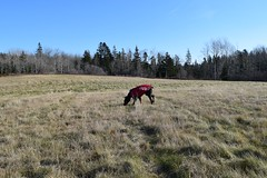 DSC_0028 (justinluv) Tags: achilles doberman dog dobe dobie dobermanpinscher eurodoberman canine