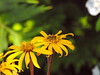 DSCF0693 (N7Hermod) Tags: insect flower bee plant coneflower rudbeckia yellow outdoor nature