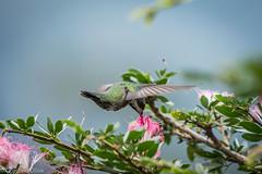 Mango Pechinegro - hembra (Anthracothorax nigricollis) (ulloagonzalo) Tags: polinizando flores colibries