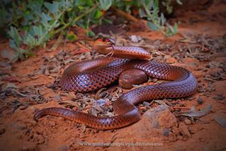 portrait: Spectacled Hooded Snake