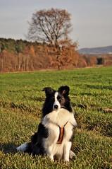 Novembersonne - Grund zum Freuen (Uli He - Fotofee) Tags: sheltie shetlandsheepdog hund fleur biblack ulrike ulrikehe ulihe uli ulrikehergert hergert nkon nikond90 fotofee november herbst 2017 meinweg burghaun plätzer