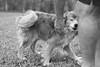 Petted (Andre Lourenco) Tags: sony sonyalpha alpha 68 ilca ilca68 sal50f18 50mm blackandwhite whiteonblack whiteandblack noiretblanc blancetnoir monochrome monocromático monochromatic dog cachorro animal pet