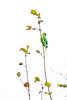 Ring-necked Parakeet (DC P) Tags: ring necked parakeet halsbandparkiet parkiet bird birds tree nature leaf animal beautiful bej canon color dof explore fantastic green garden ngc outdoor outside pov serene