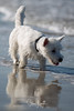 2017 - 11_25 - Portrait - Animals - Dogs - Sushi_Angus 01 (stevenlazar) Tags: largs beachwater sand northhaven puppy 2017 ocean australia dog water animals adelaide white southaustralia scottishterrier