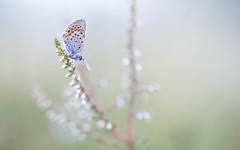 Heideblauwtje - Silver-studded blue (Wim Boon (wimzilver)) Tags: wimboon macro macrofotografie canon100mmf28lismacro canoneos5dmarkiii nederland netherlands nature natuur