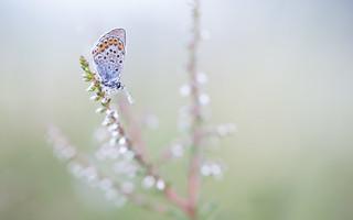 Heideblauwtje - Silver-studded blue