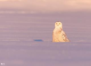 ''Souvenir!'' Harfang des neiges - Snowy owl