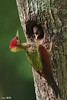 Crimson Winged Woodpecker nesting (Ken Goh thanks for 2 Million views) Tags: crimson wing woodpecker nesting chick nest high tree male adult red head cute pose perch avian wild dof depth field pentax k3 sigma 500f45