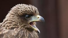 Birds of Prey - part 1 (NED_KELLY_GUY) Tags: fluffy portrait down wildlife feathers beak nature bird squawk eye brown forestofdean raptor birdofpreycentre detail