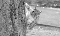 """What do you mean you are going to process me in black and white......"" (markwilkins64) Tags: squirrel wildlife canon tree bark bokeh sweet cute beautiful blackandwhite bw mono monochrome"