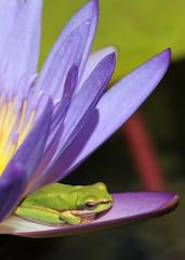 Frog in Paradise 007 (DMT@YLOR) Tags: botanic botanicalgardens mountcootthabotanicalgardens frog flower bluelotuslily lotuslily lily green blue purple toowong brisbane queensland australia pollen