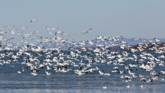 Snow Geese Swarm (Phal44) Tags: canon 7d2 7d mk2 200400 200400mm canada quebec stvallier bird geese goose snowgeese snowgoose f4l snow autumn migration migratory stlawrence