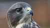 Birds of Prey - part 1 (NED_KELLY_GUY) Tags: portrait sleek beak carnivore beauty nostrils falcon hooked birdofprey feathers eyes streamlined beady bird raptor down detail