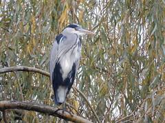 Grey Heron (sander_sloots) Tags: grey heron blauwe reiger rotterdam bird tree boom treurwilg weeping willow branch tak vogel ardea cinerea