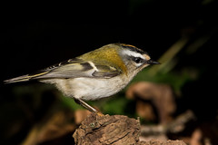 Firecrest (Regulus ignicapillus) (PINNACLE PHOTO) Tags: goldcrest regulusignicapillus bird small coloured crest yellow orange wild surrey feathered tiny close martinbillard canon 500mm