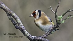 Goldfinch (4gyp) Tags: goldfinch