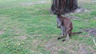 2017-102458 Wallaby