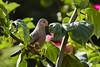 Common Ground Dove (ronmcmanus1) Tags: antigua bird caribbean nature outdoors wildlife animals jollyharbour stmarysparish antiguabarbuda