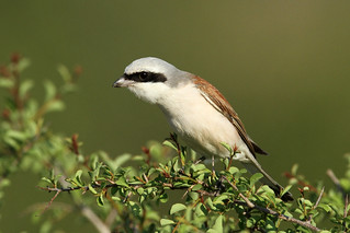 Lanius collurio ♂ (Red-backed Shrike) - South Africa
